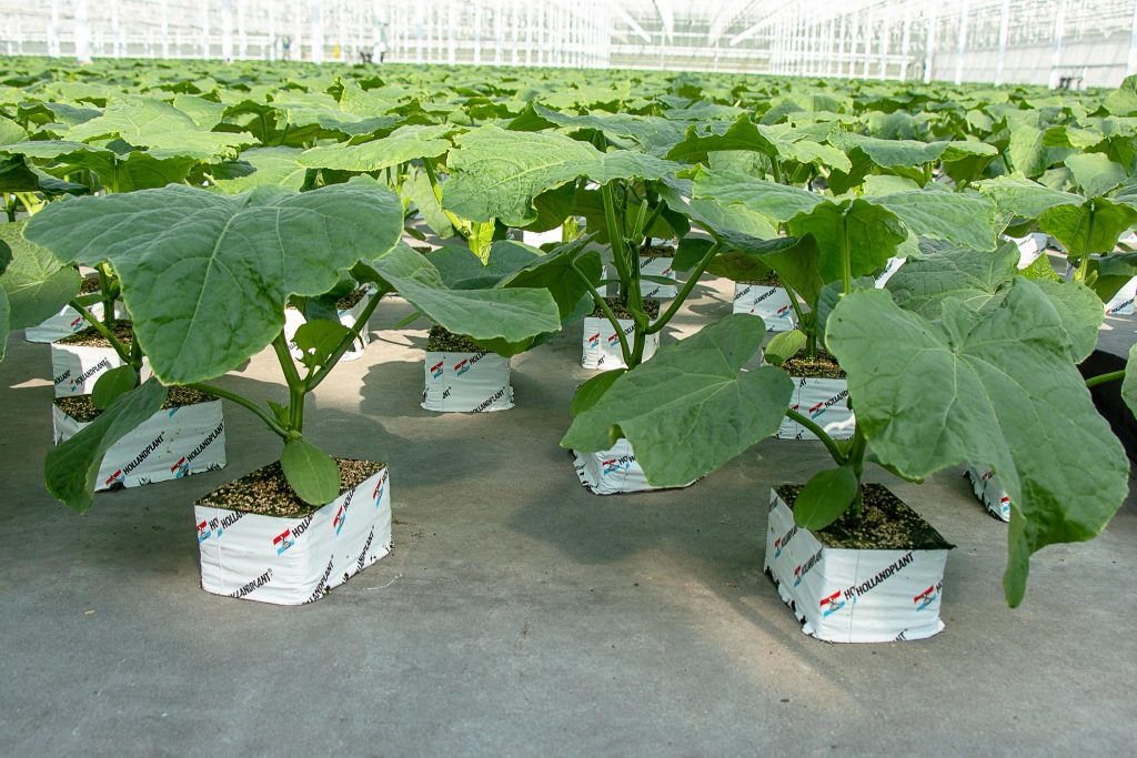 Komkommerplanten Hollandplant